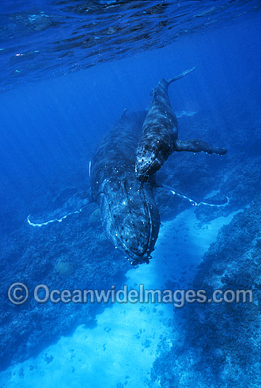 Humpback Whale (Megaptera novaeangliae) - mother with calf underwater. Found throughout the world's oceans in both tropical and polar areas, depending on the season. Classified as Vulnerable on the 2000 IUCN Red List.