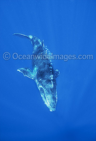 Humpback Whale (Megaptera novaeangliae) - calf underwater. Found throughout the world's oceans in both tropical and polar areas, depending on the season. Classified as Vulnerable on the 2000 IUCN Red List.