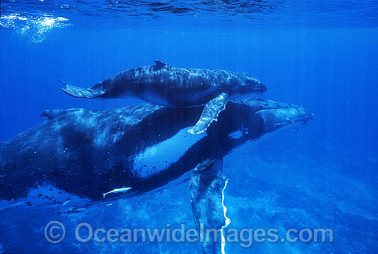 Humpback Whale mother with calf underwater photo