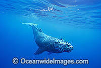Humpback Whale calf underwater Photo - Gary Bell
