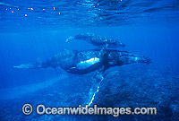 Humpback Whale mother with calf underwater