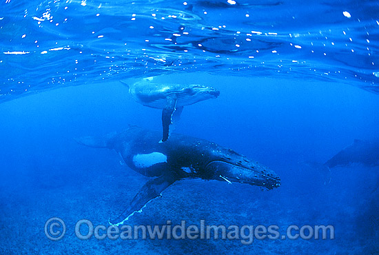 Humpback Whale (Megaptera novaeangliae) - mother and calf underwater with escort in background. Found throughout the world's oceans in both tropical and polar areas, depending on the season. Classified as Vulnerable on the 2000 IUCN Red List.