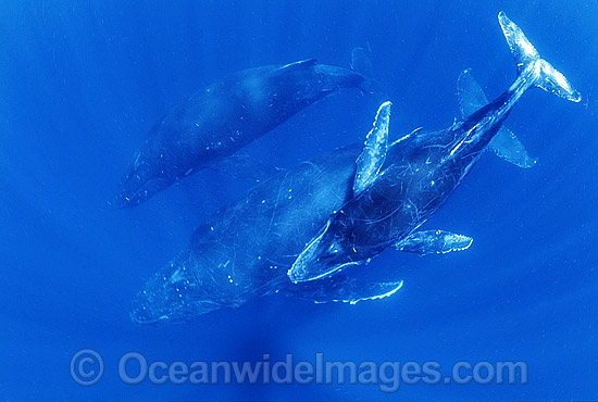 Humpback Whale (Megaptera novaeangliae) - mother and calf underwater with escort. Found throughout the world's oceans in both tropical and polar areas, depending on the season. Classified as Vulnerable on the 2000 IUCN Red List.