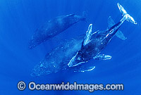 Humpback Whale mother calf underwater