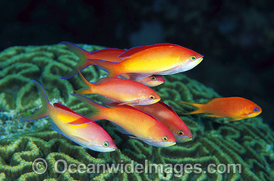 Schooling male Redfin Anthias (Pseudanthias dispar). Great Barrier Reef, Queensland, Australia Photo - Gary Bell