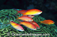 Redfin Anthias and Coral Photo - Gary Bell