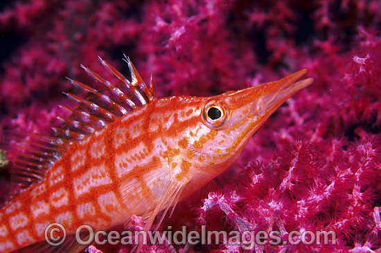 Long-nose Hawkfish (Oxycirrhites typus) on Gorgonian Fan Coral. Indo-Pacific