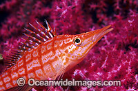 Long-nose Hawkfish on Fan Coral