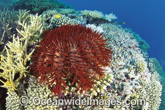 Crown-of-thorns Starfish (Acanthaster planci) feeding on Acropora Coral. This sea star has sharp venomous spines and wounds from the spines can be very painful. Great Barrier Reef, Queensland, Australia