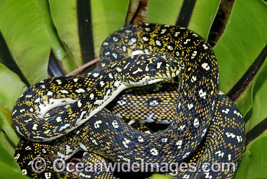 Diamond Python (Morelia spilota spilota) resting in a Birds Nest Fern. Gosford, New South Wales, Australia. Non-venomous snake. Photo - Gary Bell