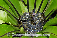 Diamond Python in a Birds Nest Fern