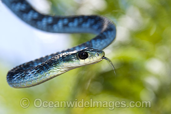 Green Tree Snake (Dendrelaphis punctulata). An unusual blue colour phase. Also known as Common Tree Snake. Coffs Harbour, New South Wales, Australia. Non-venomous snake. Photo - Gary Bell