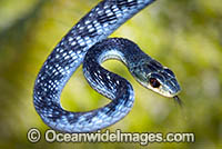 Green Tree Snake Dendrelaphis punctulata Photo - Gary Bell
