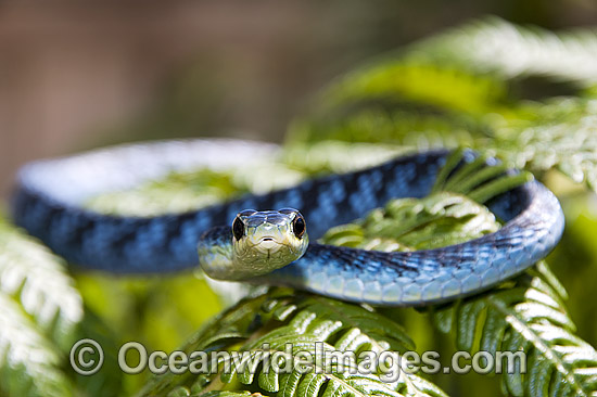 Green Tree Snake (Dendrelaphis punctulata) - on a tree fern frond. An unusual blue colour phase. Also known as Common Tree Snake. Coffs Harbour, New South Wales, Australia. Non-venomous snake. Photo - Gary Bell