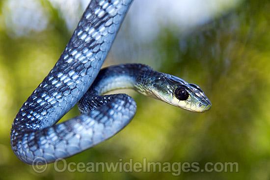 Blue Tree Snake  galleryhipcom  The Hippest Galleries!