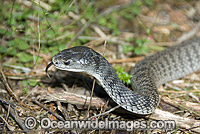 Rough-scaled Snake Tropidechis carinatus Photo - Gary Bell