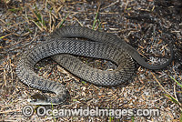 Rough-scaled Snake Tropidechis carinatus