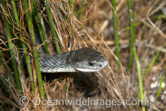 Rough-scaled Snake (Tropidechis carinatus). Also known as Clarence River Snake. Coffs Harbour, New South Wales, Australia. A venomous and dangerous snake. Photo - Gary Bell