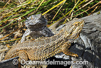 Bearded Dragon Pogona vitticeps image