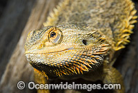 Central Bearded Dragon image