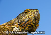 Central Bearded Dragon Pogona vitticeps image