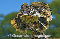 Frilled-neck Lizard defensive display