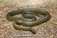 Fierce Snake Oxyuranus microlepidotus Photo - Gary Bell