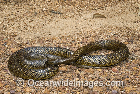 Fierce Snake (Oxyuranus microlepidotus). Also known as Inland Taipan. Western Queensland, Australia. Extremely venomous and dangerous snake. Photo - Gary Bell