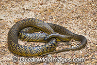 Fierce Snake Photo - Gary Bell