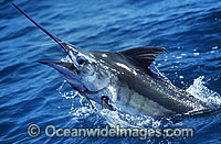 Blue Marlin Billfish Makaira mazara Photo - John Ashley