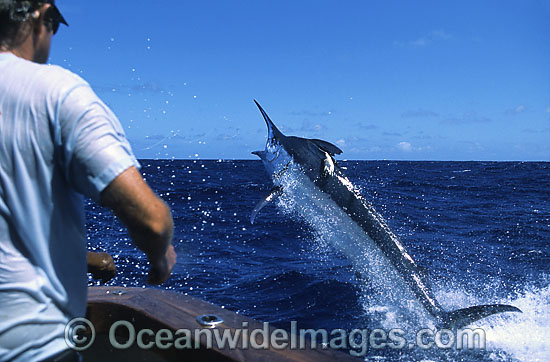 Sports fisherman reeling in a Black Marlin (Makaira indica) breaching on surface after taking a bait. Also known as Billfish. Great Barrier Reef, Queensland, Australia