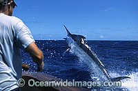 Fisherman reeling in Black Marlin photo