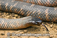 Collett's Snake Pseudechis colletti  photo