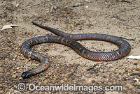 Collett's Snake Pseudechis colletti  Photo - Gary Bell