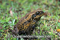 Cane Toad Bufo marinus Photo - Gary Bell