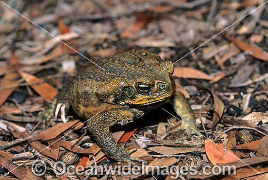 Cane Toad (Bufo marinus). Also known as Marine Toad. Queensland, Australia. Introduced to Australia in 1935 to combat Sugar Cane Beetles. Now a major pest species. Photo - Gary Bell