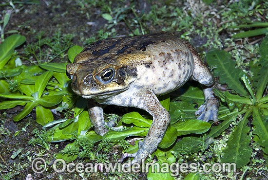 Cane Toad (Bufo marinus) - poised and inflated in defence. Also known as Marine Toad. Queensland, Australia. Introduced to Australia in 1935 to combat Sugar Cane Beetles. Now a major pest species. Photo - Gary Bell