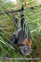 Grey-headed Flying-fox Pteropus poliocephalus