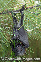 Fruit Bat Pteropus poliocephalus Photo - Gary Bell