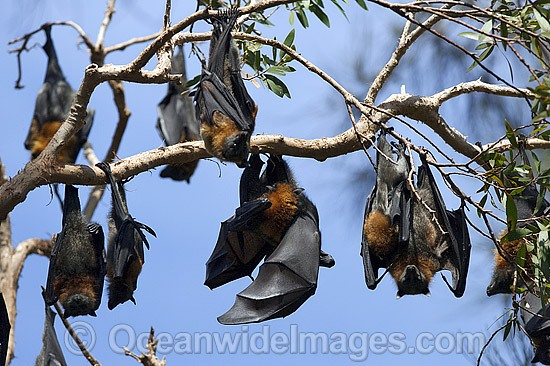 Grey-headed Flying-fox (Pteropus poliocephalus) - colony. Also known as Fruit Bat, Grey-headed Wing-foot and Megabat. Woolgoolga, NSW, Australia. Listed as Vulnerable species. Photo - Gary Bell