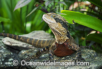 Water Dragon Physignathus lesueurii lesueurii photo