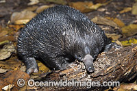 Short-beaked Echidna juvenile Photo - Gary Bell