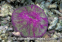 Mushroom Coral Fungia sp. Detail Photo - Gary Bell