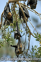 Grey-headed Flying-fox colony