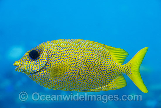 Coral Rabbitfish (Siganus corallinus). Also known as Ocellated Spinefoot. Great Barrier Reef, Queensland, Australia