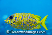 Coral Rabbitfish Siganus Corallinus Photo - Gary Bell