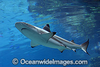 Blacktip Reef Shark Carcharhinus melanopterus Photo - Gary Bell