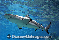 Blacktip Reef Shark photo