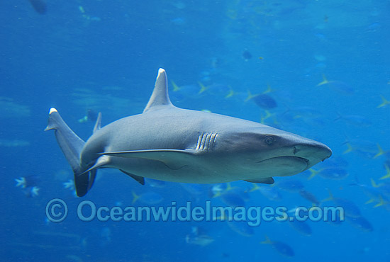Whitetip Reef Shark (Triaenodon obesus). Great Barrier Reef, Queensland, Australia Photo - Gary Bell