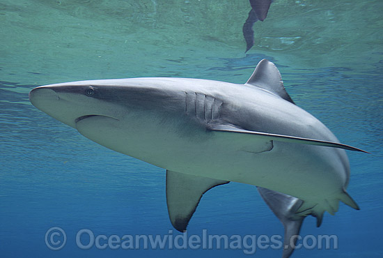 Dusky Shark (Carcharhinus obscurus). Also known as Black Whaler and Bronze Whaler. Found throughout Australia in tropical and warm temperate seas. Photo - Gary Bell
